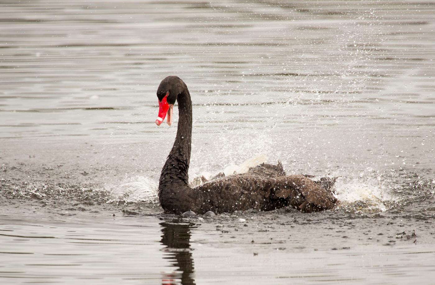 Black Swan (Image ID 38949)