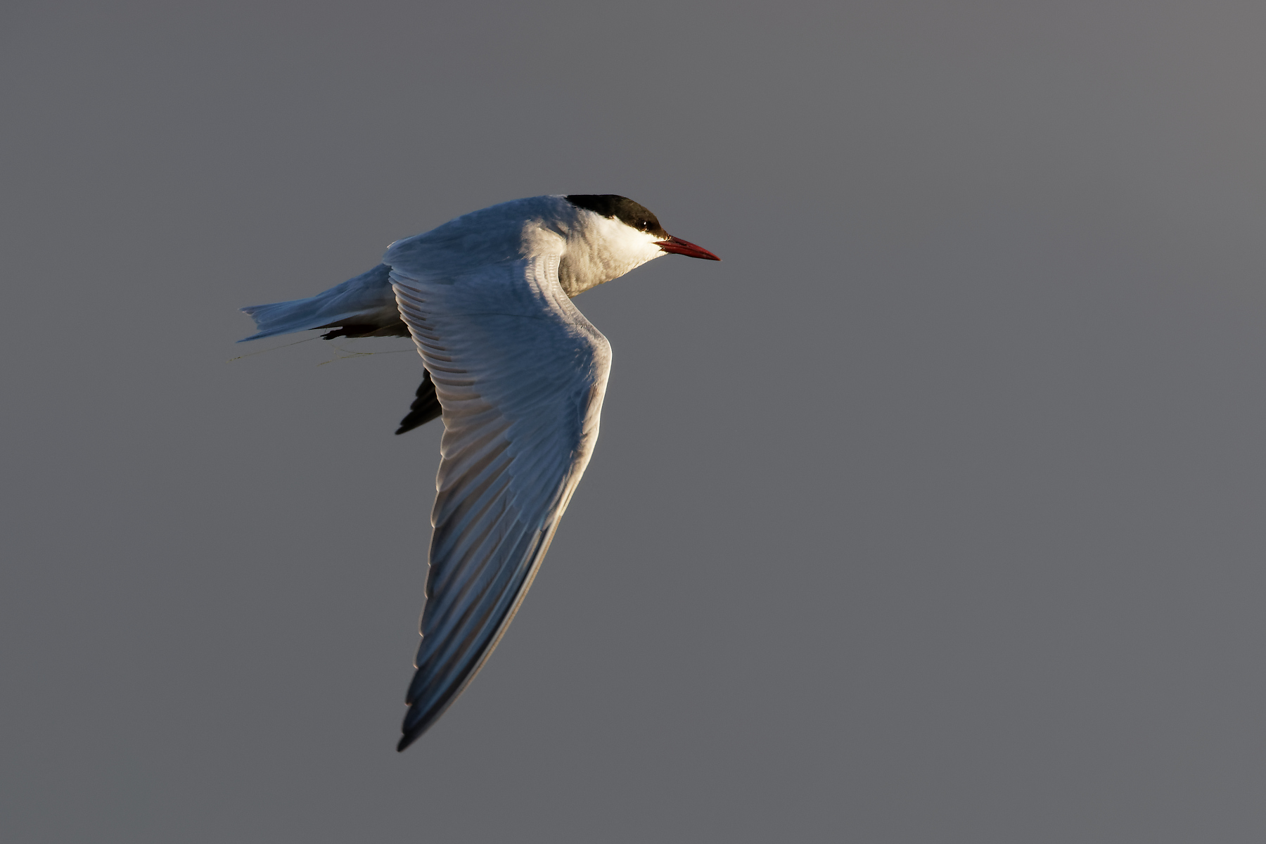 Whiskered Tern (Image ID 39150)