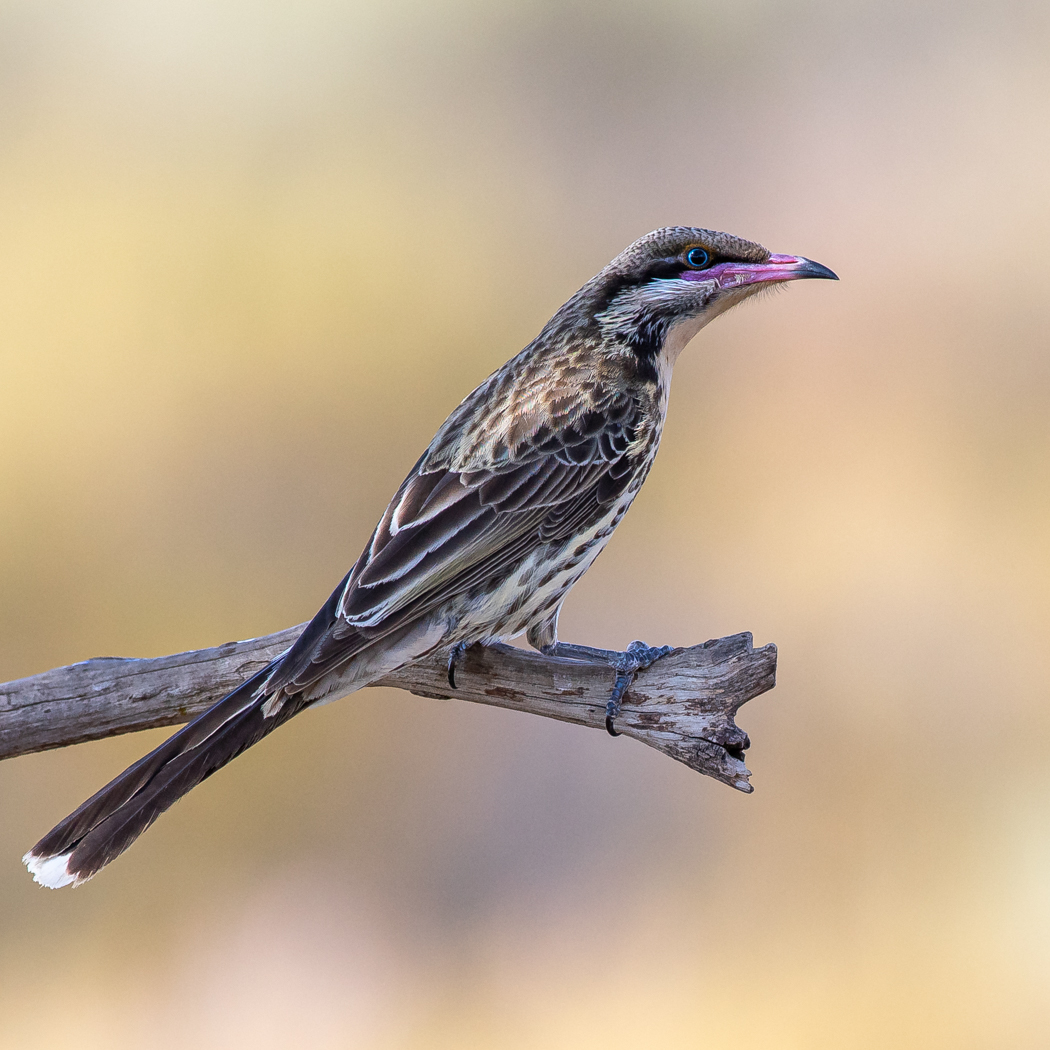 Spiny-cheeked Honeyeater (Image ID 38713)