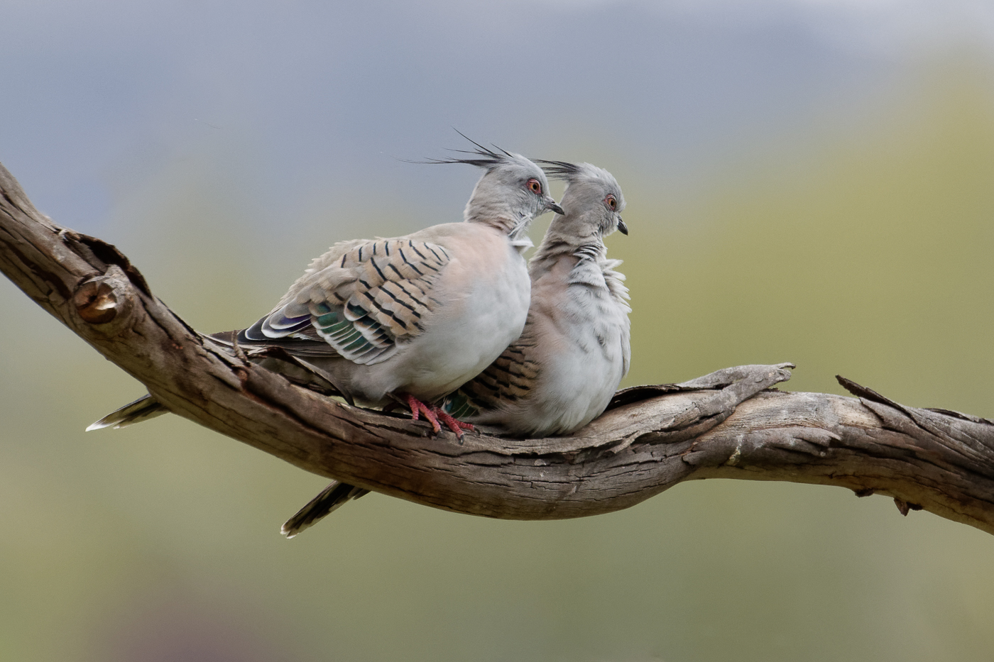 Crested Pigeon (Image ID 38947)