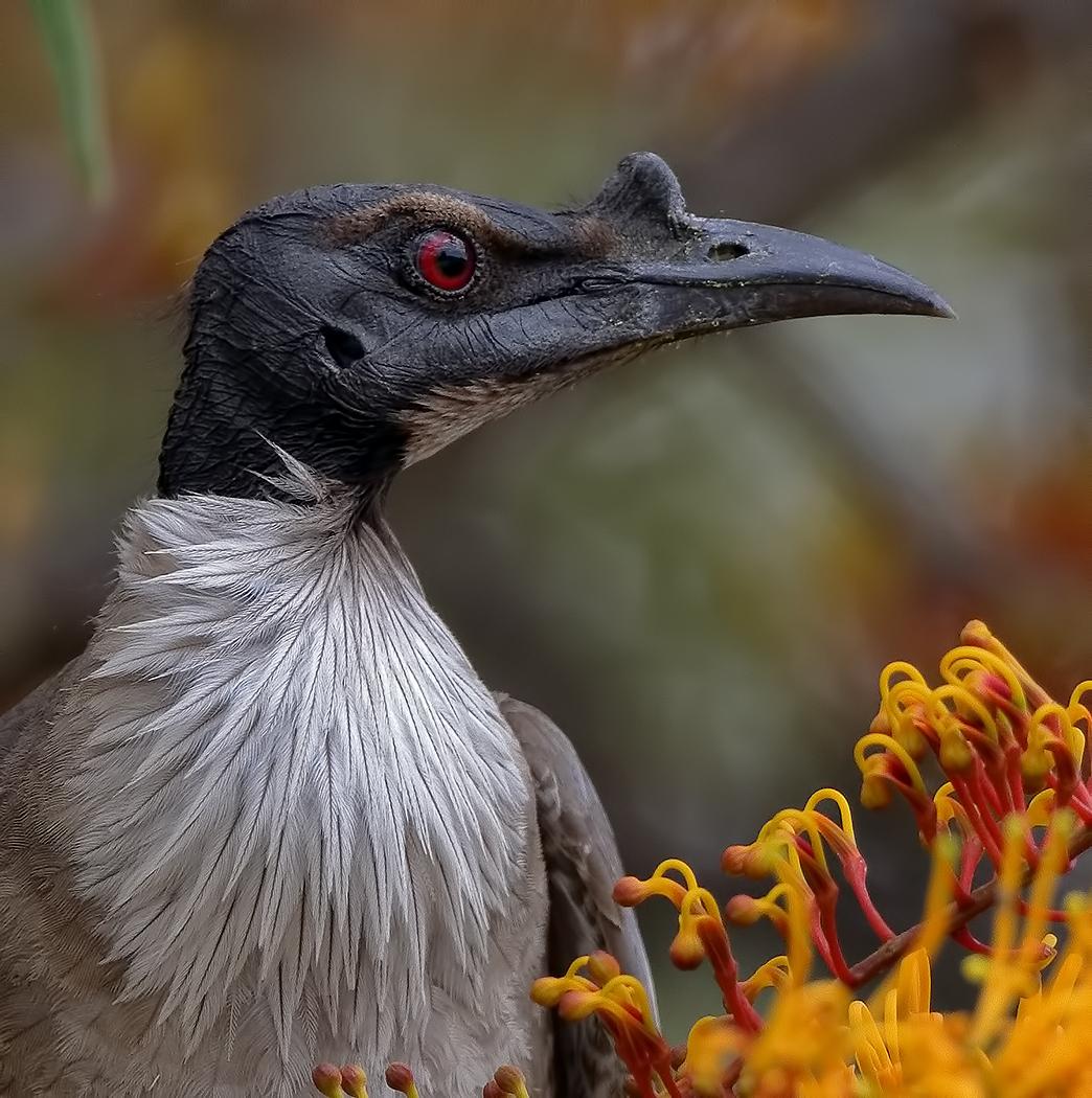 Noisy Friarbird (Image ID 39186)