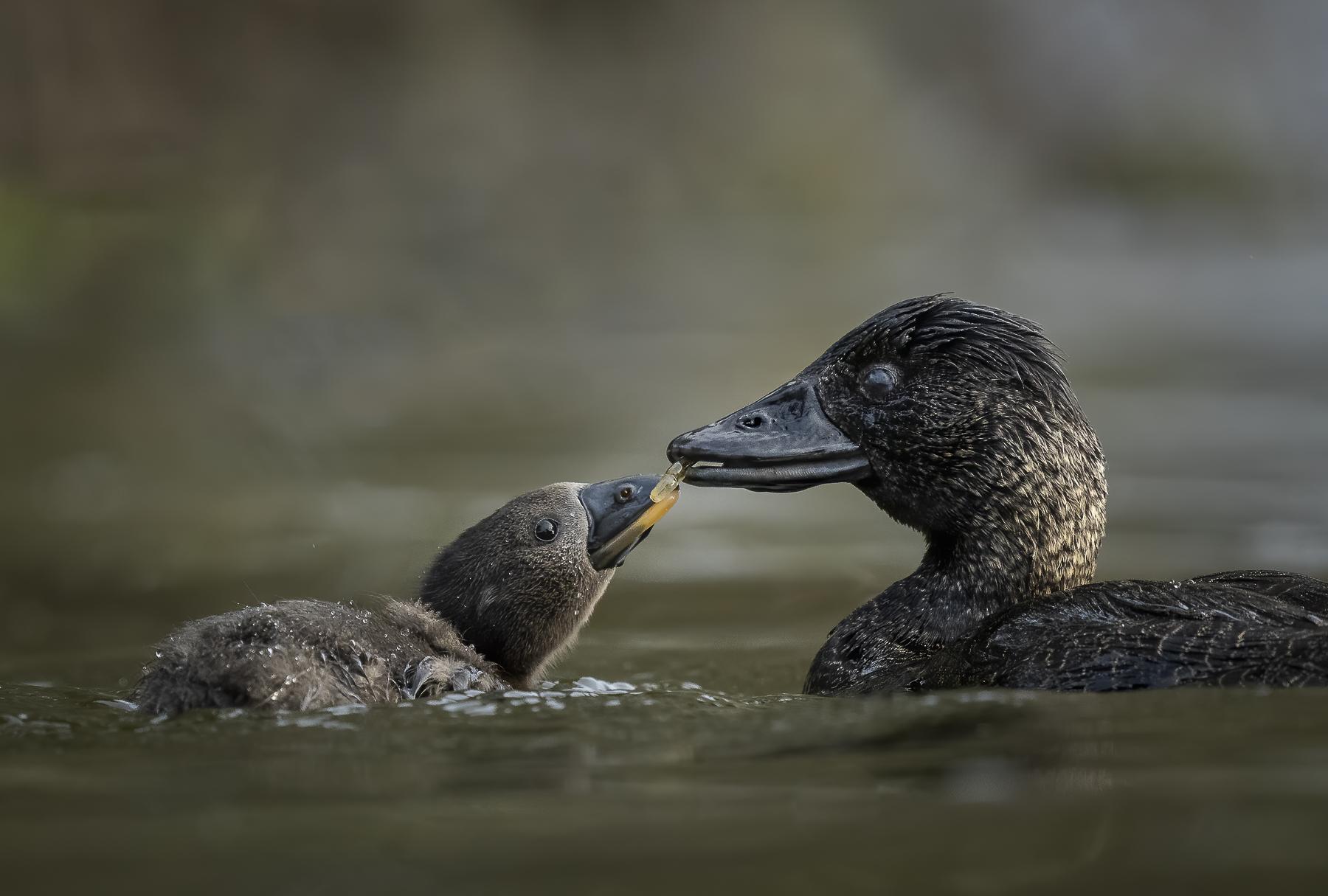 Musk Duck (Image ID 39021)