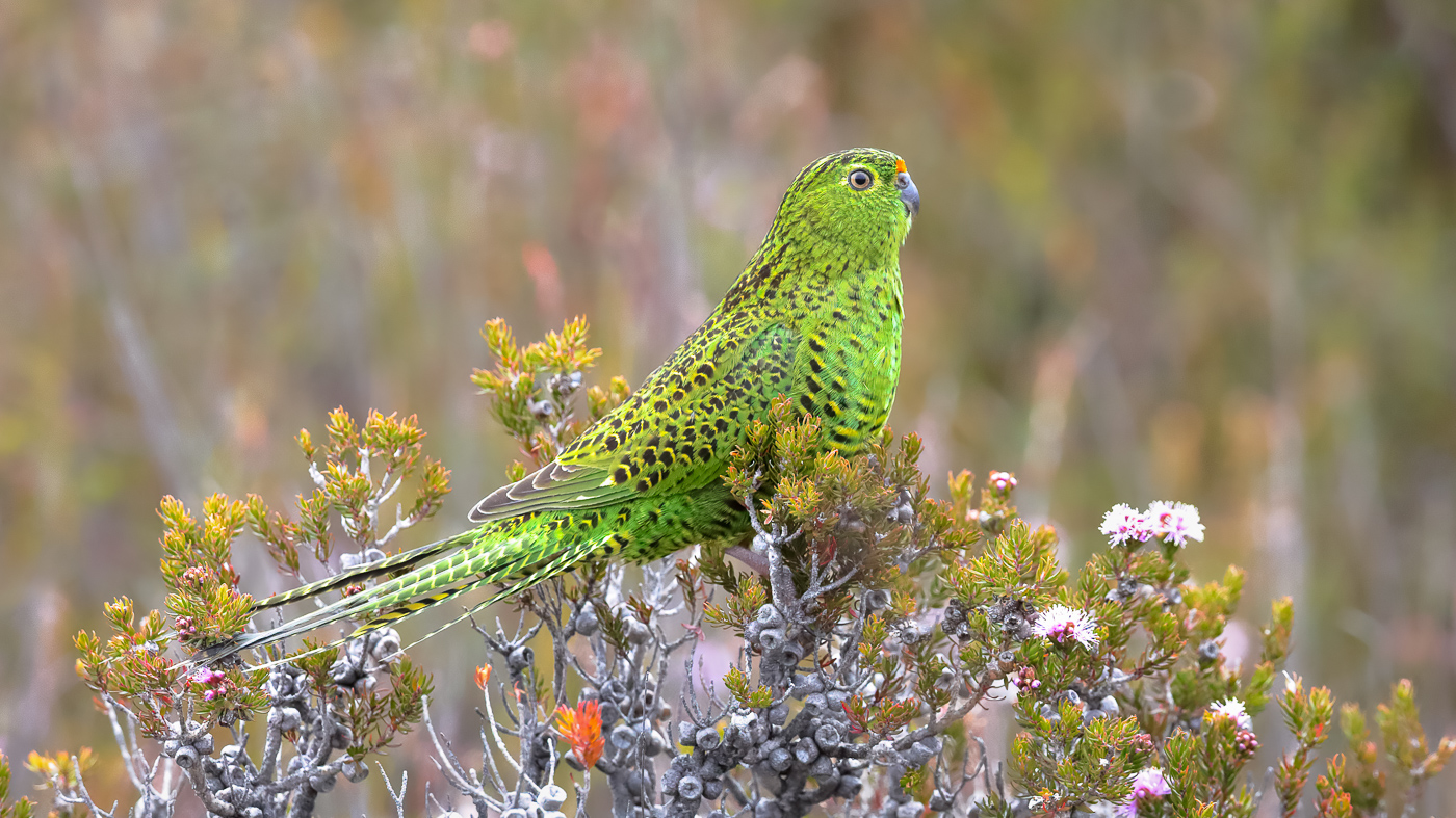 Ground Parrot (Image ID 39147)