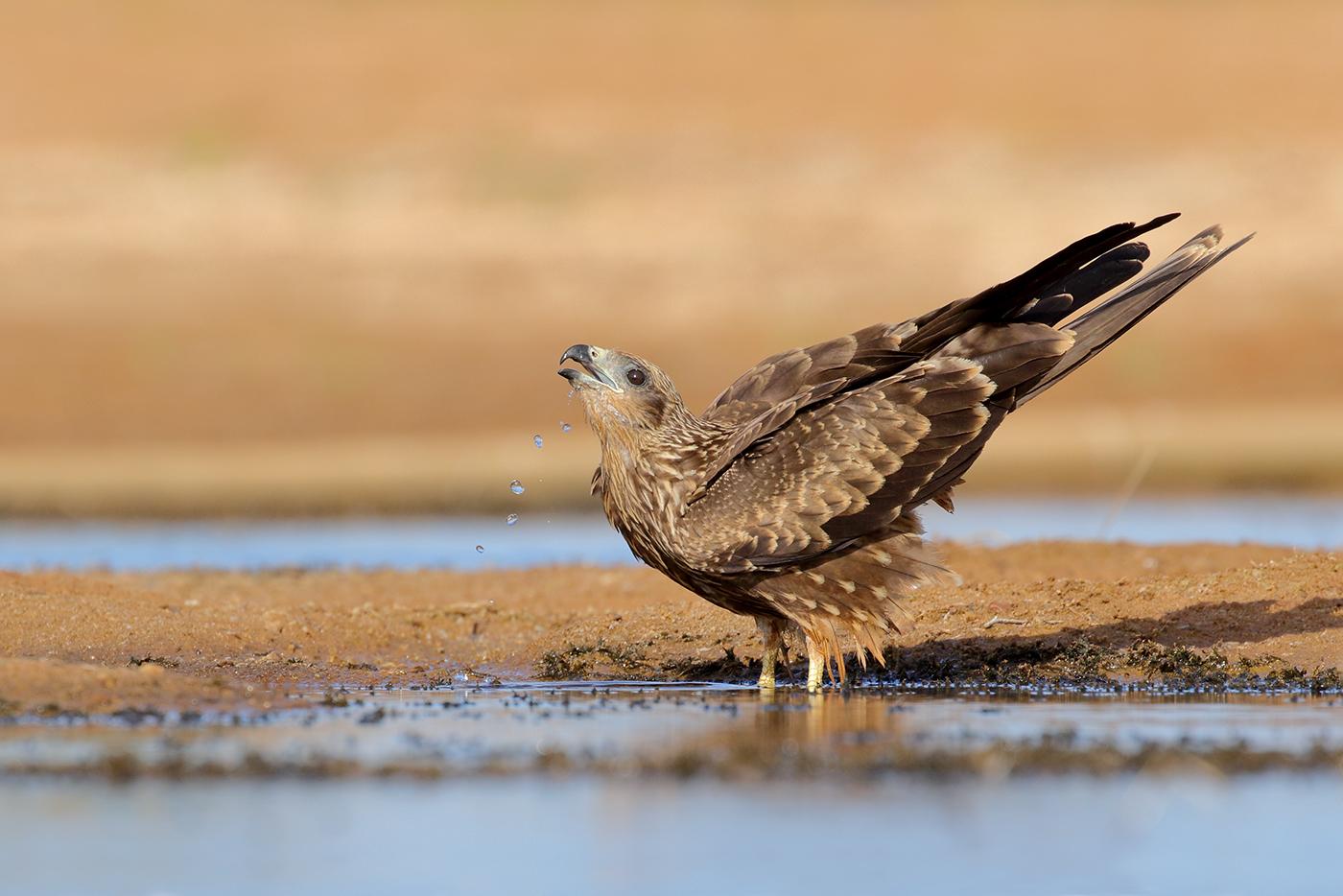 Black Kite (Image ID 38921)