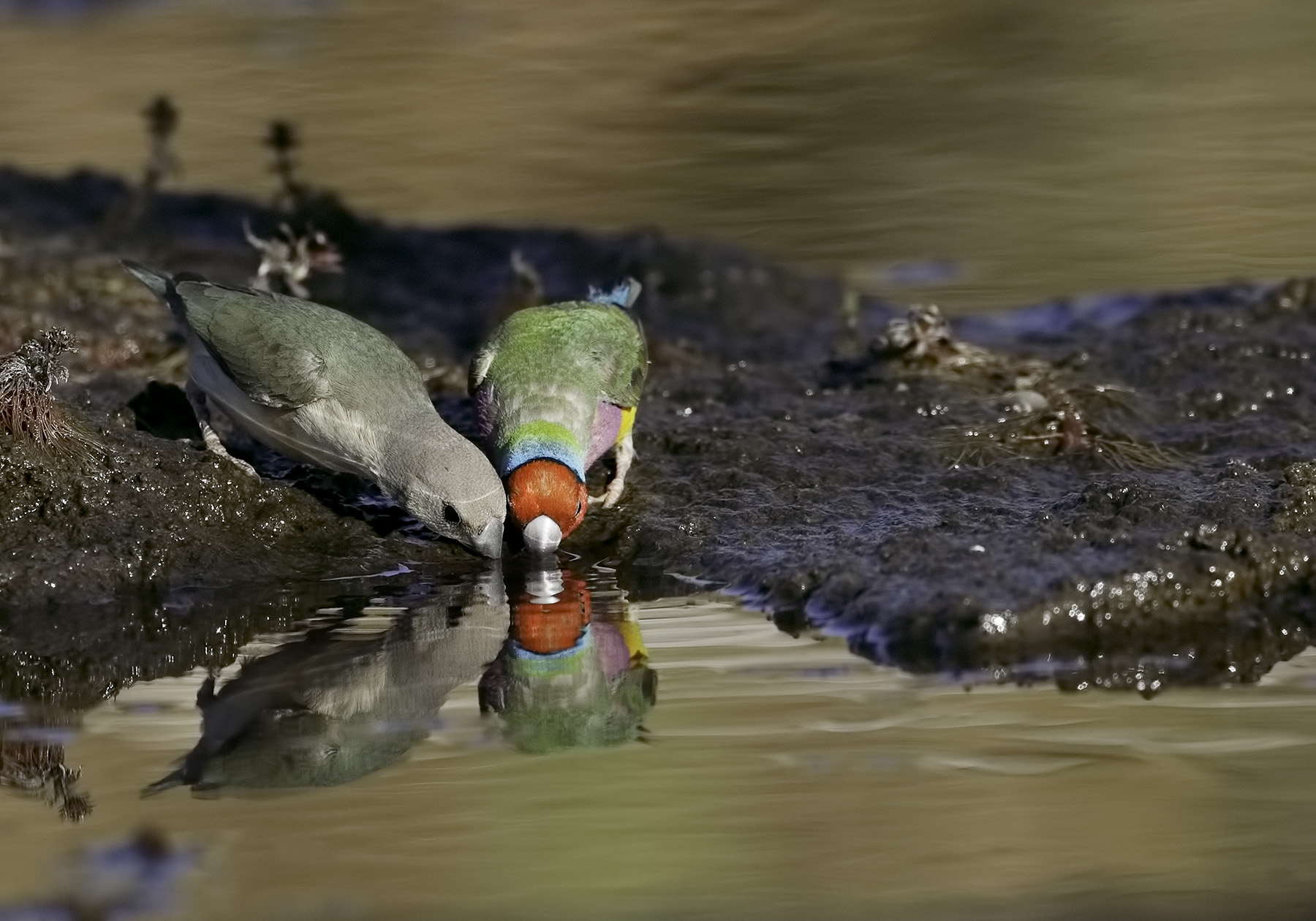 Gouldian Finch (Image ID 39791)