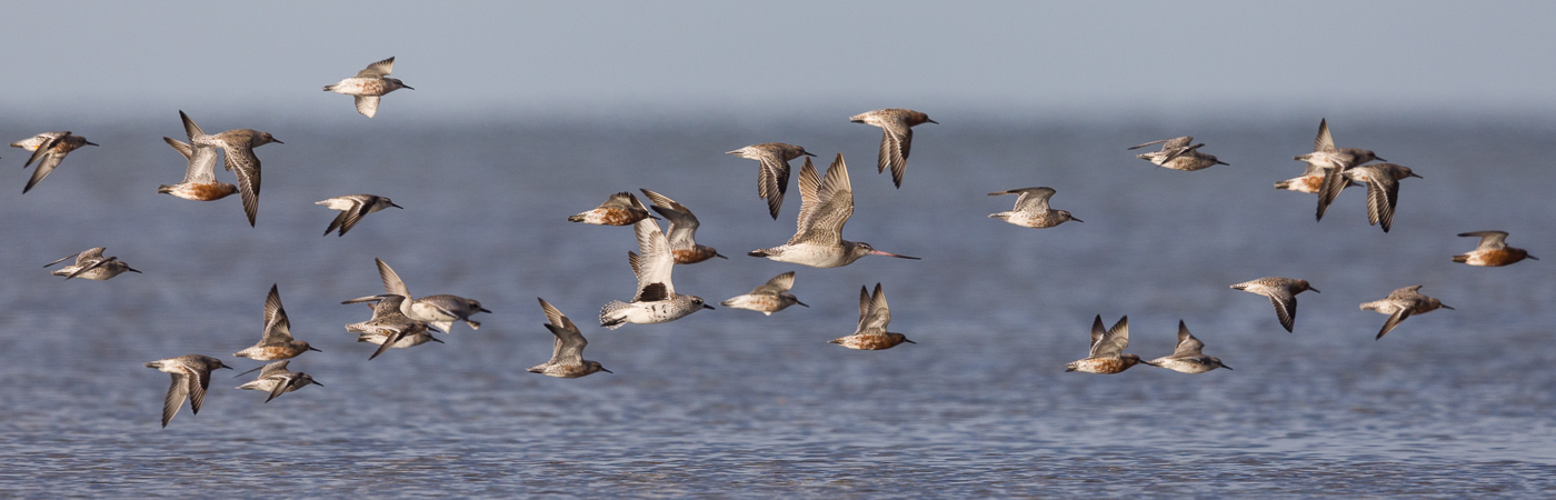 Bar-tailed Godwit, Grey Plover, Red Knot (Image ID 39756)