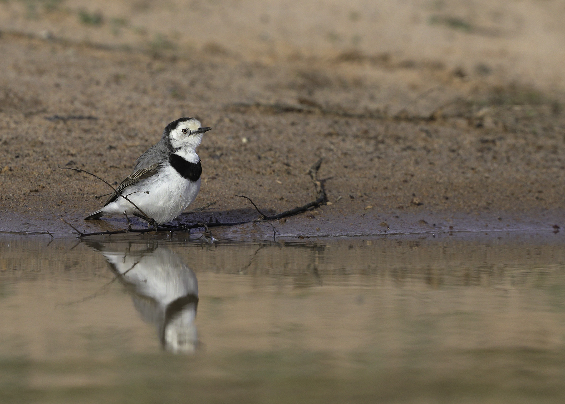 White-fronted Chat (Image ID 39788)
