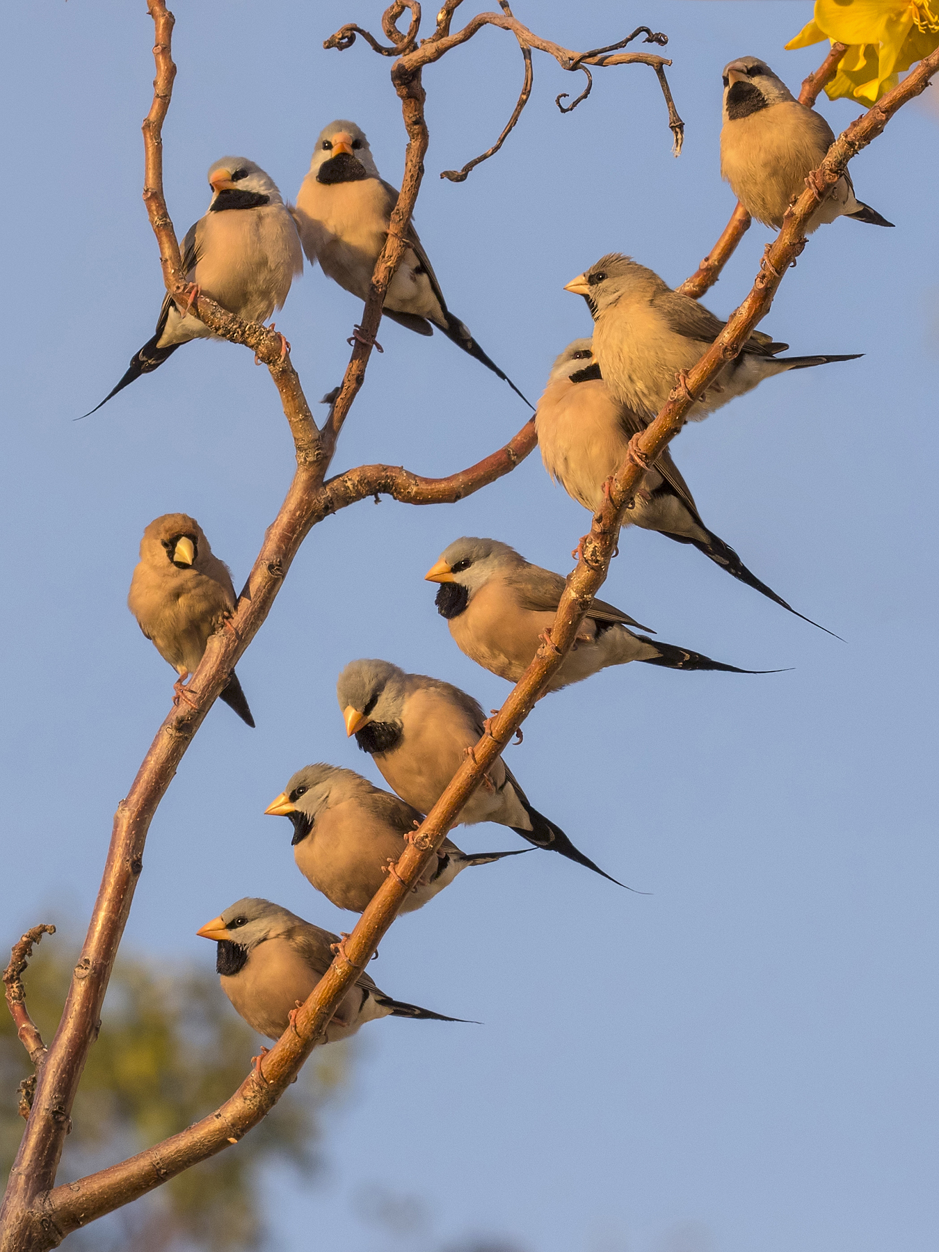Long-tailed Finch, Masked Finch (Image ID 39697)