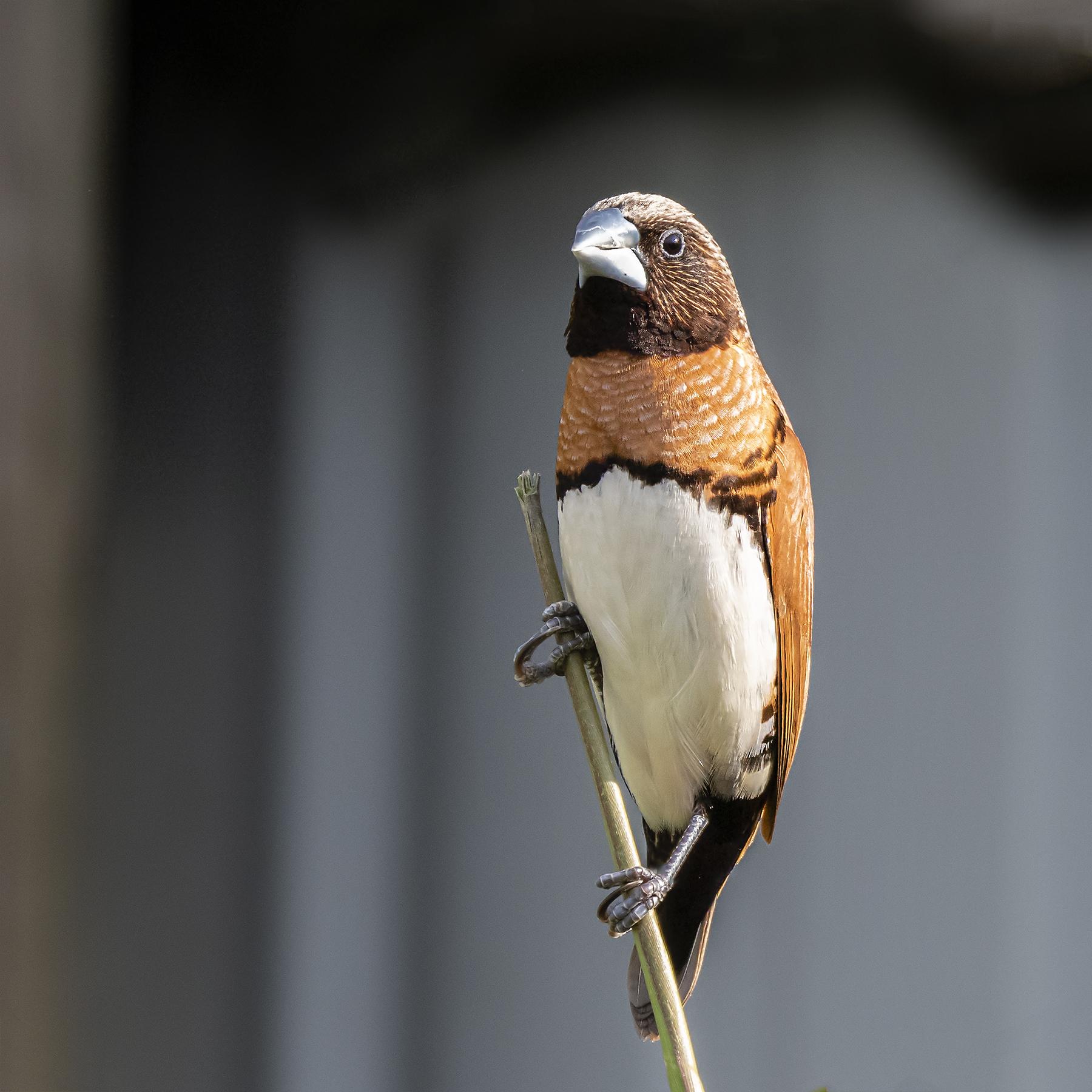 Chestnut-breasted Mannikin (Image ID 39771)