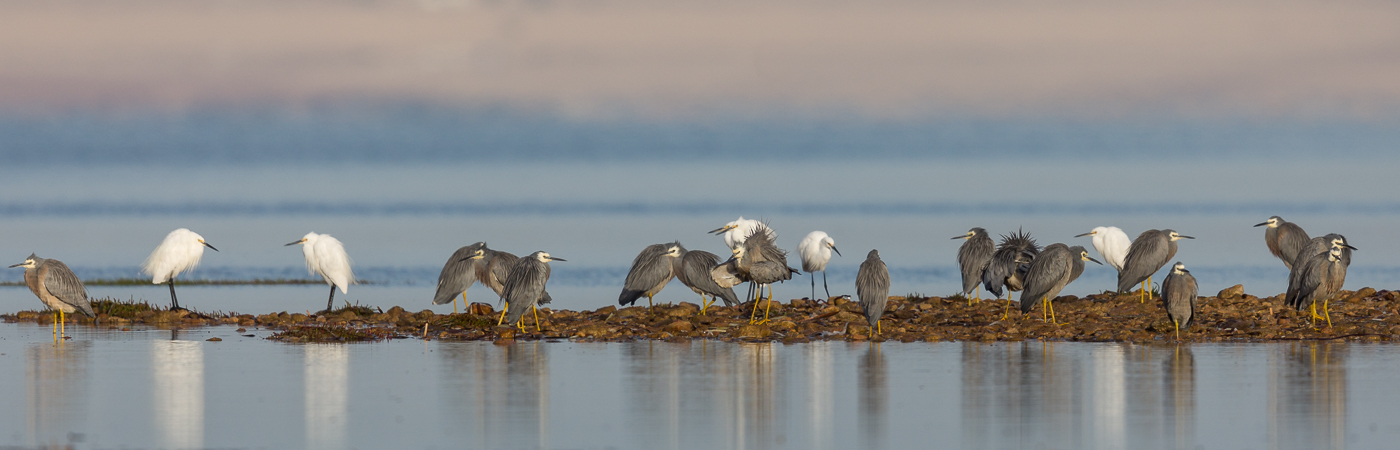 Little Egret, White-faced Heron (Image ID 39754)