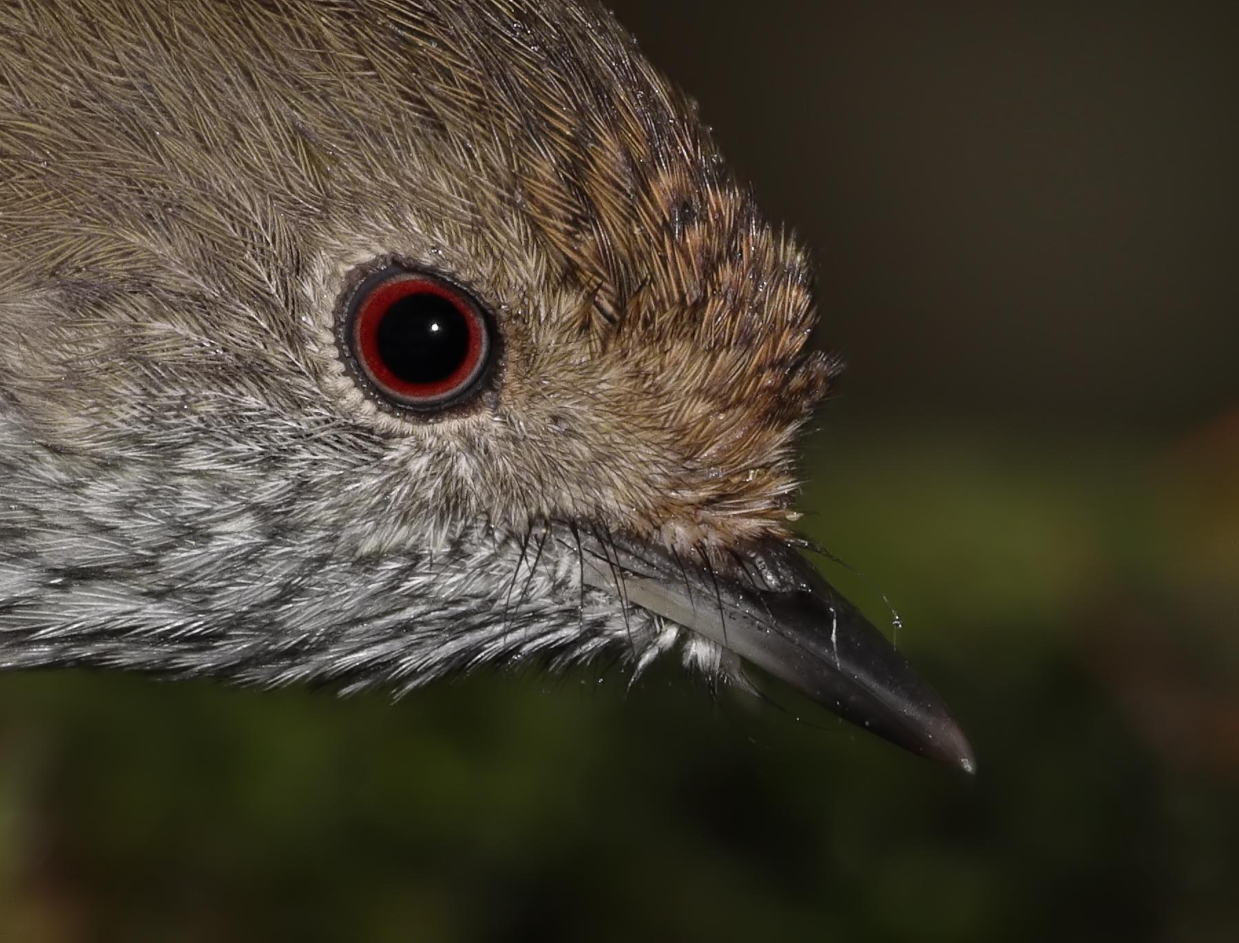 Brown Thornbill (Image ID 40179)