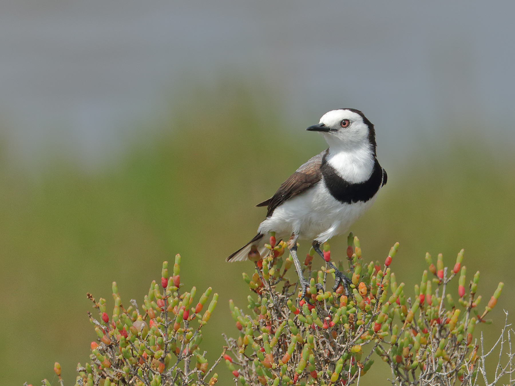 White-fronted Chat (Image ID 39975)