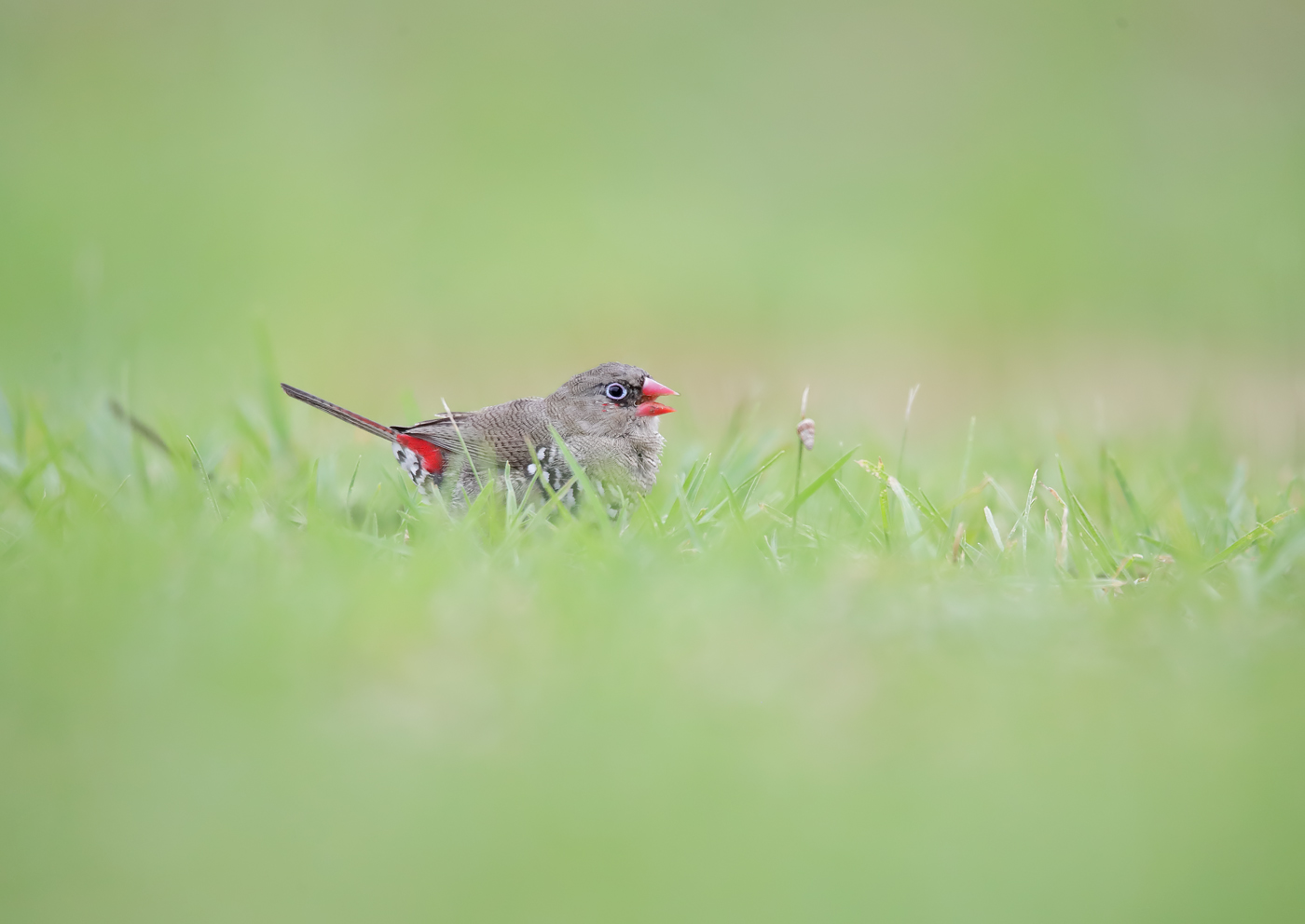 Red-eared Firetail (Image ID 40035)