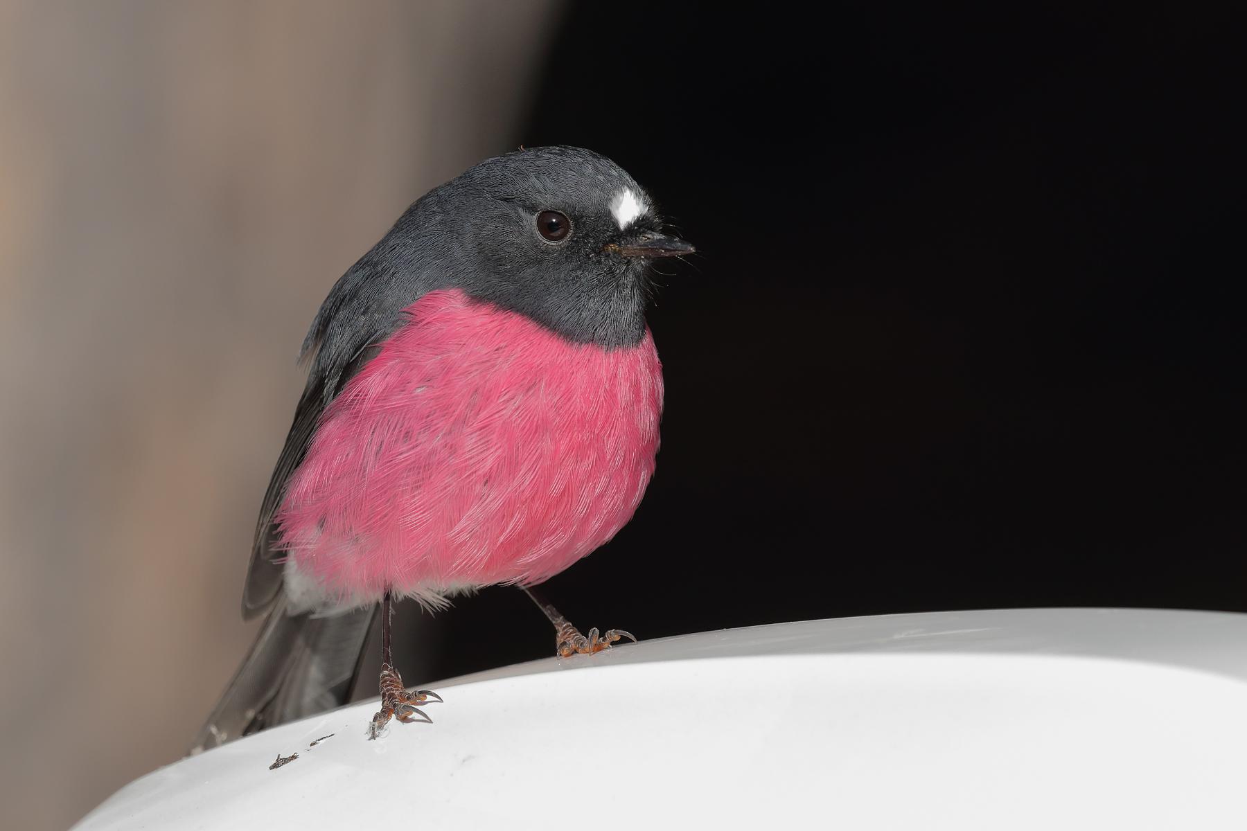 Pink Robin (Image ID 40083)