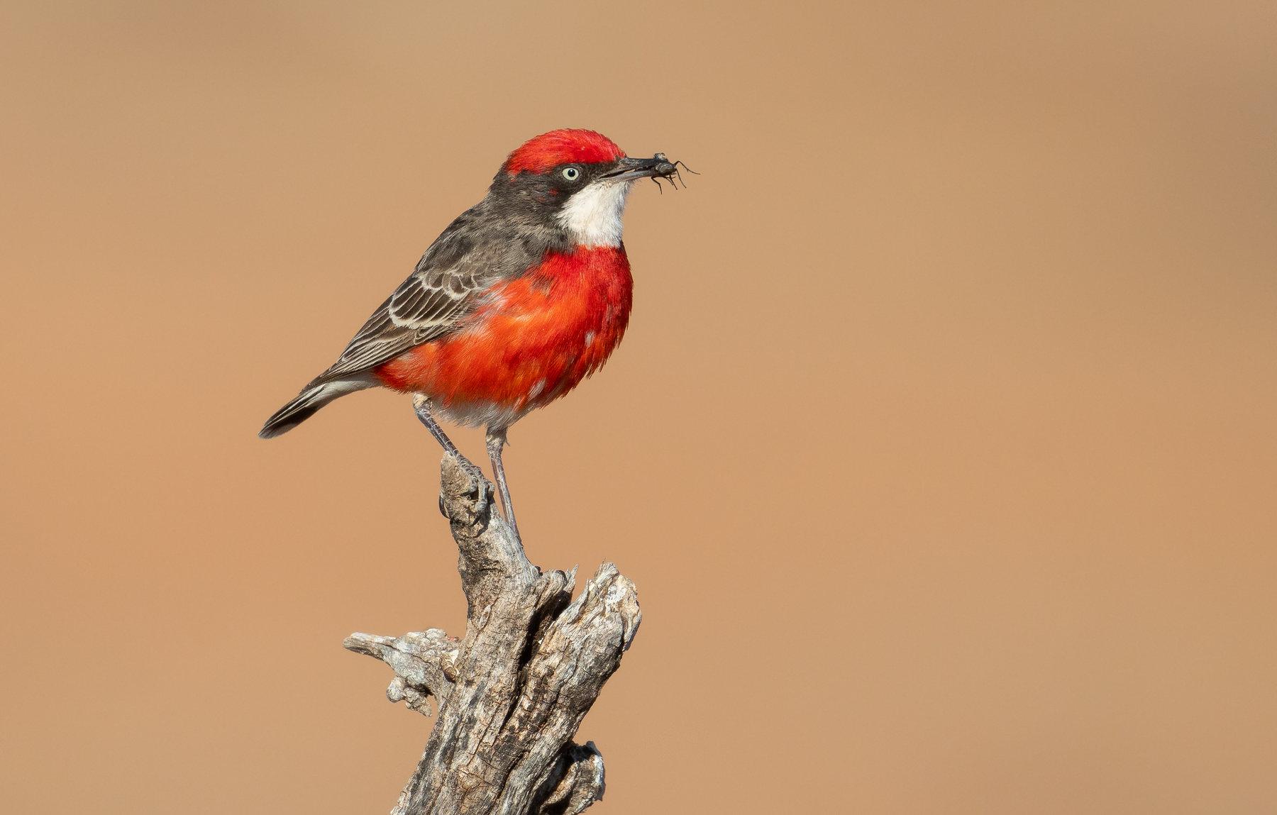 Crimson Chat (Image ID 40507)