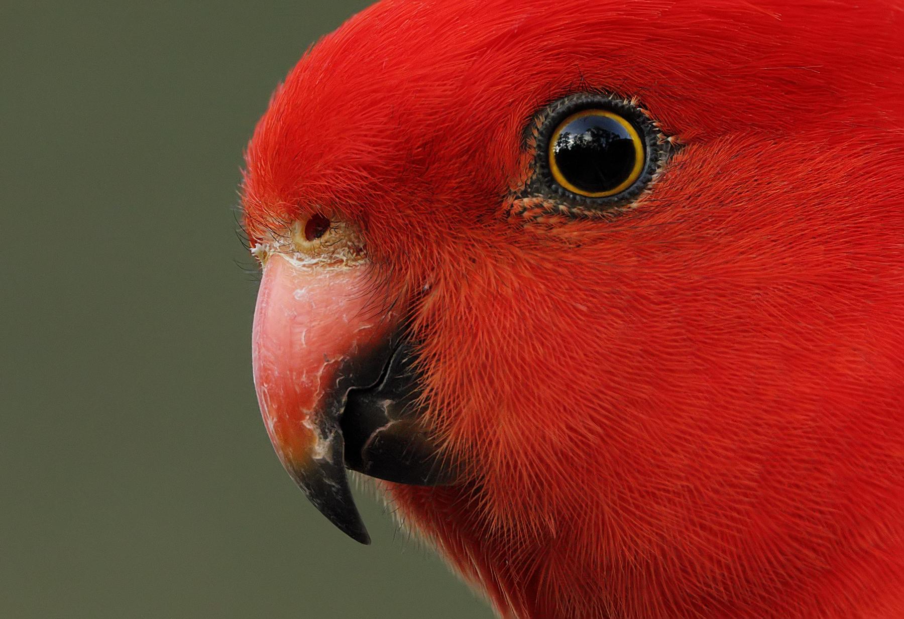 Australian King-Parrot (Image ID 40977)