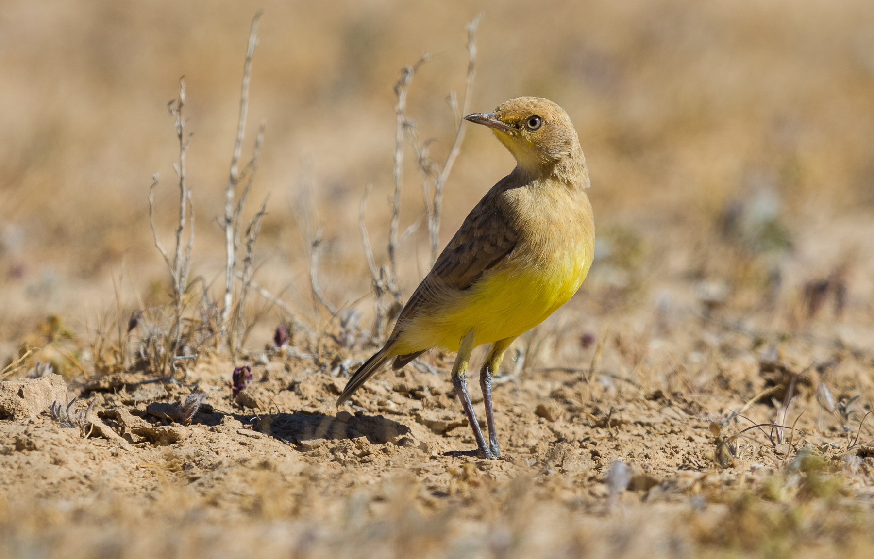 Gibberbird (Image ID 40906)