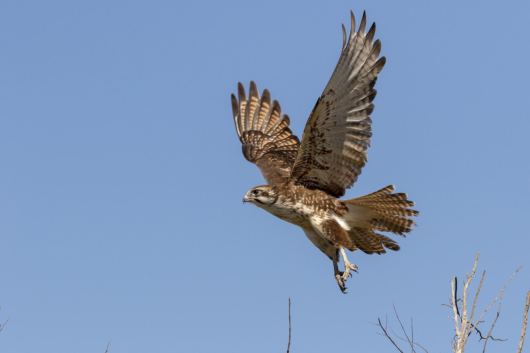 Brown Falcon (Image ID 40828)