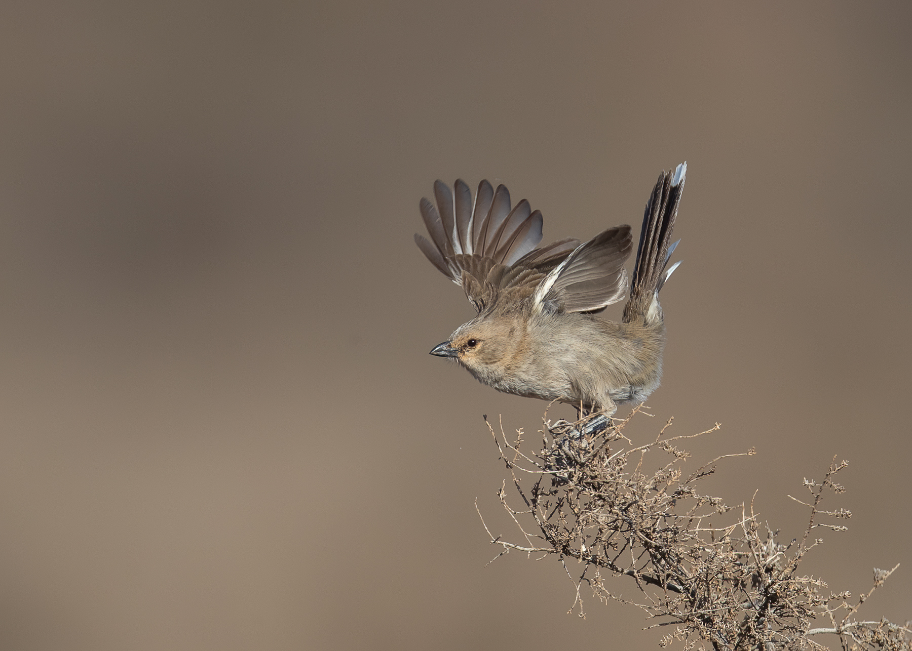 Chirruping Wedgebill (Image ID 41467)