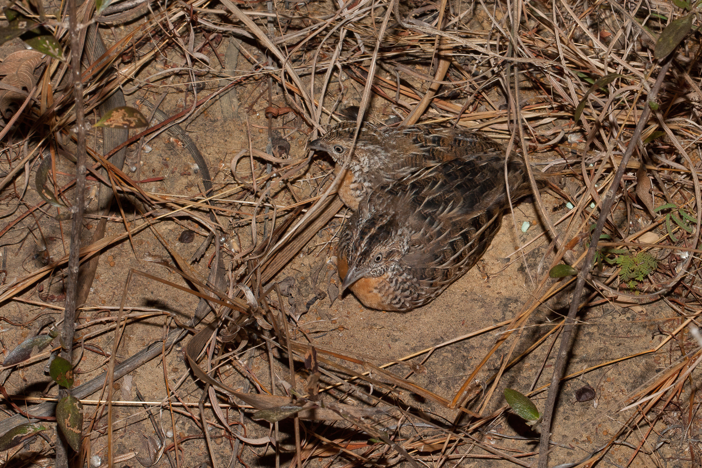 Red-chested Button-quail (Image ID 41184)