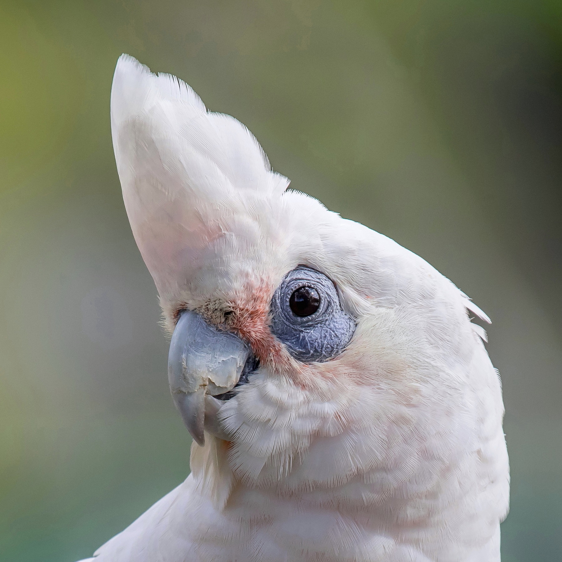 Little Corella (Image ID 41141)