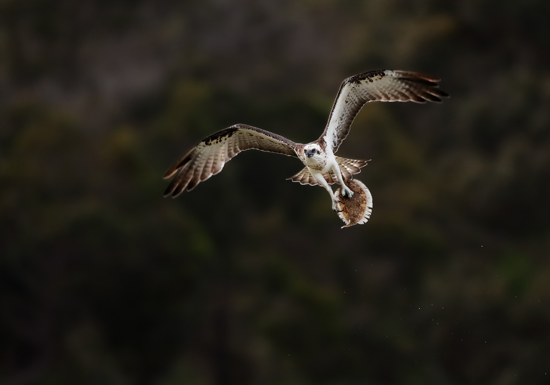 Osprey (Image ID 41592)