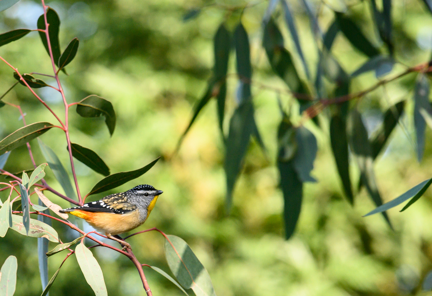 Spotted Pardalote (Image ID 41215)