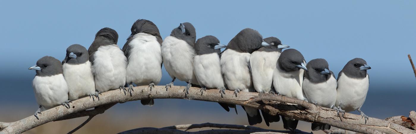 White-breasted Woodswallow (Image ID 42092)