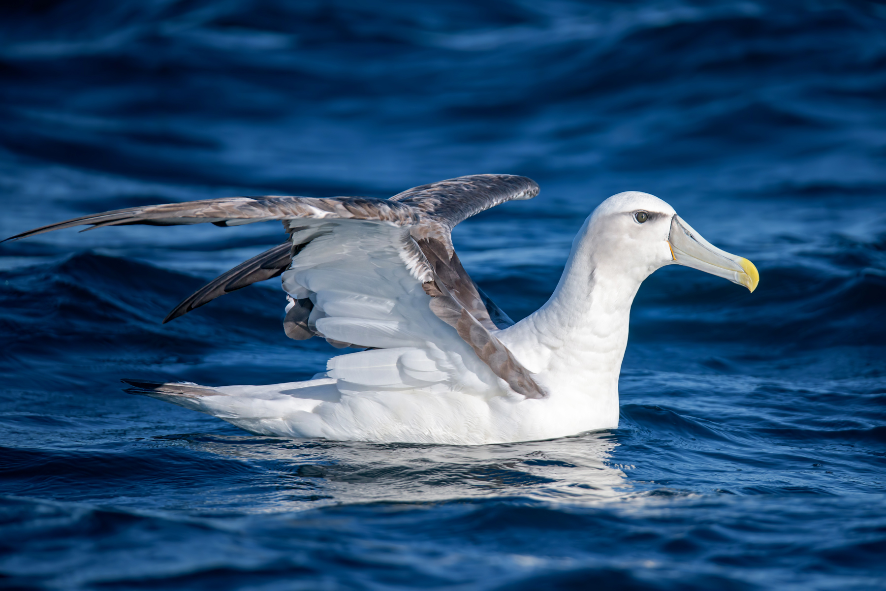 Shy Albatross (Image ID 41899)