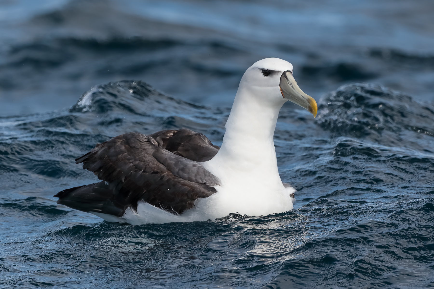 White-capped Albatross (Image ID 41921)