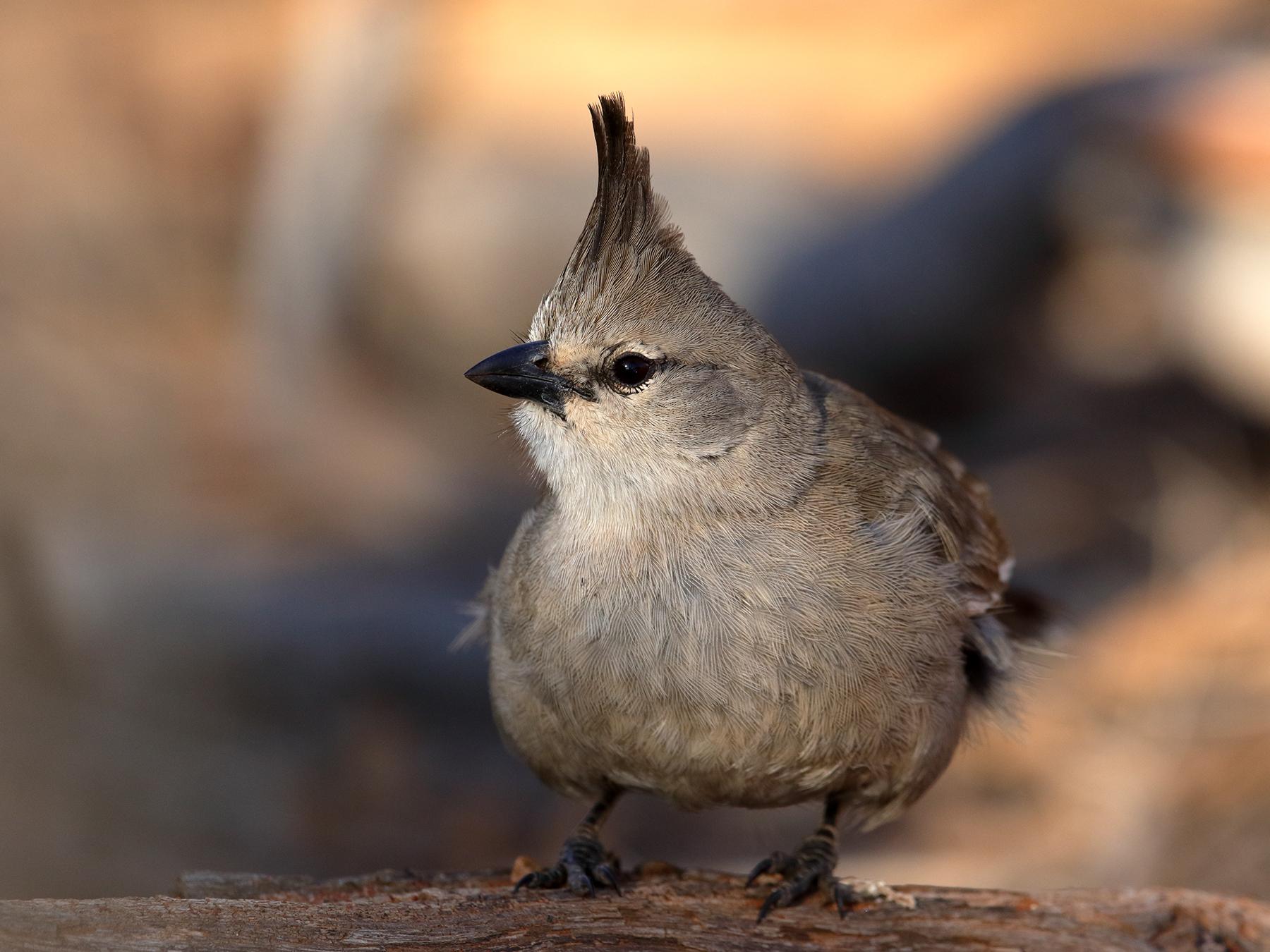 Chiming Wedgebill (Image ID 42407)