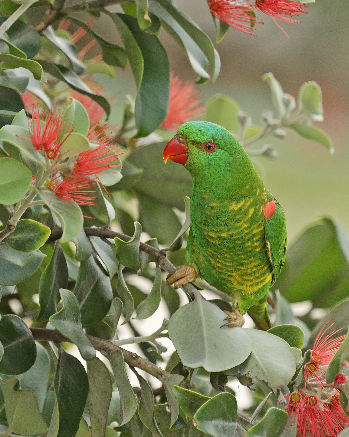 Scaly-breasted Lorikeet (Image ID 42172)