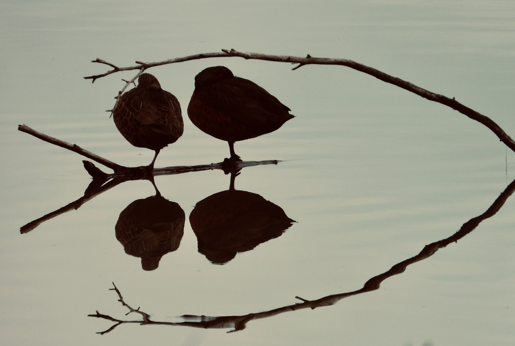 Chestnut Teal (Image ID 42405)