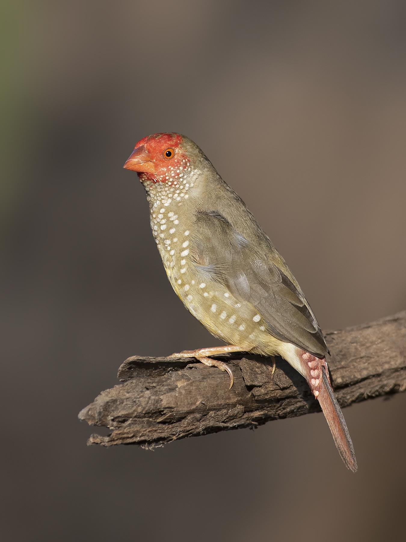 Star Finch (Image ID 42385)
