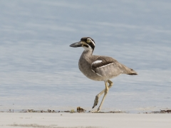 Beach Stone-curlew (Image ID 28995)