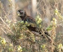Carnaby's Black-Cockatoo (Image ID 37503)