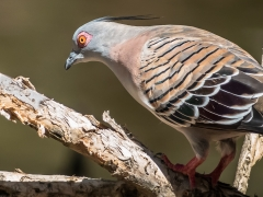 Crested Pigeon (Image ID 40378)