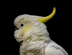 Sulphur-crested Cockatoo (Image ID 42117)