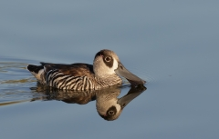 Pink-eared Duck (Image ID 42508)