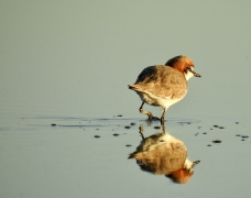 Red-capped Plover (Image ID 42401)