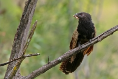 Pheasant Coucal (Image ID 42476)