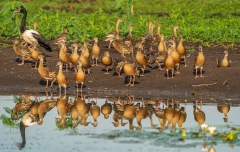 Plumed Whistling-Duck (Image ID 42569)