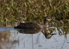 Pacific Black Duck (Image ID 42532)
