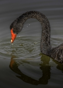 Black Swan (Image ID 42466)