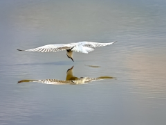 Whiskered Tern (Image ID 42750)