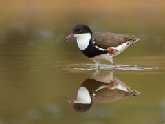 Red-kneed Dotterel (Image ID 42741)