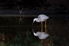 White-faced Heron (Image ID 42810)