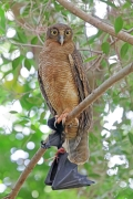 Rufous Owl (Image ID 43036)