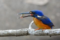 Azure Kingfisher (Image ID 42805)