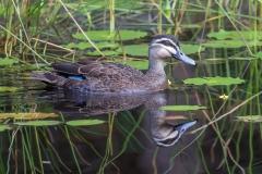 Pacific Black Duck (Image ID 42692)